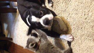 Baby Raccoon Befriends Dog