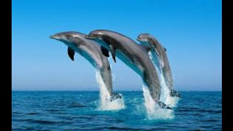 A Herd of Dolphins