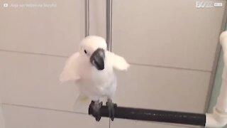Denne kakaduen elsker å dusje!
