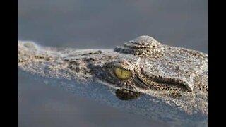 Drone survives crocodile attack in Australia