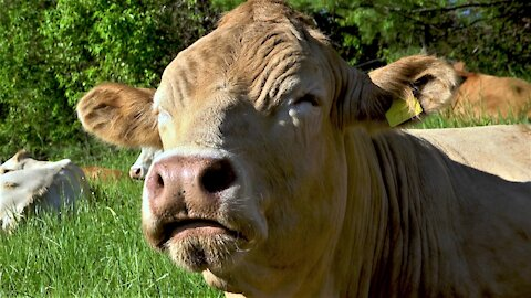 Most relaxed cow in the world chews her cud in a sunny meadow