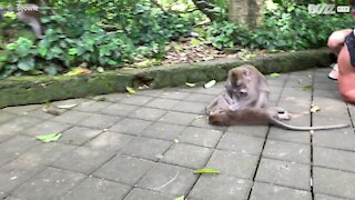 Tourists imitate monkeys in hilarious grooming scene