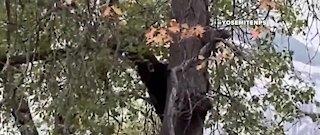 Black bear stuck in tree at Yosemite National Park