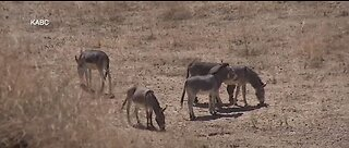UPDATE: Feds and conservation groups pull 100k together help to capture serial burro killer