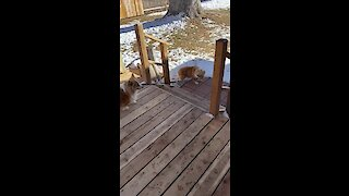 No human needed: Corgi takes other corgi for a walk