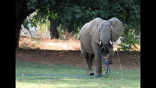 Tourists watch elephant casually drink from garden hose in backyard