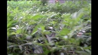 Battle brewing over medical marijuana proposal in Dearborn