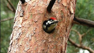 Woody Woodpecker as a baby