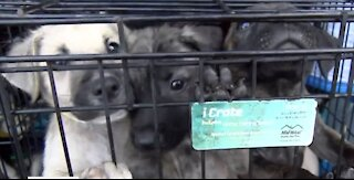 250 animals rescued from euthanization land at Palm Beach International Airport