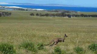 Kangaroo outruns car