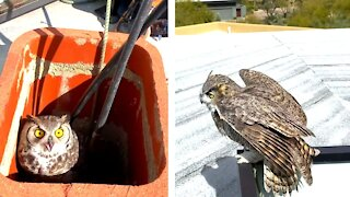Two Great Horned Owls Rescued And Released From Chimney