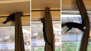 Cat tries to climb curtains and fails