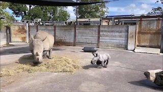 Rhino calf gets the zoomies, runs circles around mom