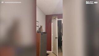 Gato escala porta para apanhar traça!