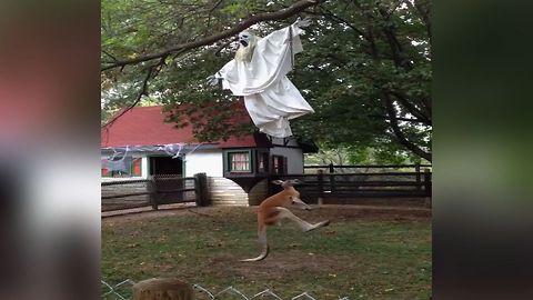 This Kangaroo Isn't A Fan Of Halloween