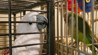 Parrot tries to charm his cockatoo crush