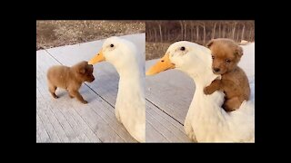 Adorable Baby Dog Loves Its Duck Buddy