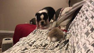 Bouncing bulldog plays with cute bunny rabbit