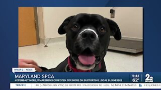 Candy the dog is up for adoption at the Maryland SPCA