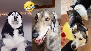 Best Funny husky Dogs compilation ever