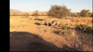 SOUTH AFRICA - Rhino's hunted down for their horns (r8Z)