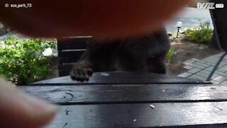 Una scimmia che vuole essere imboccata