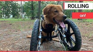 Golden retriever with deformed legs receives a custom wheelchair