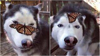 Un tenero husky e la farfalla sul muso