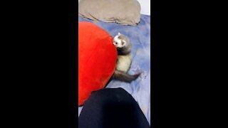 Pillow attacks Ferret