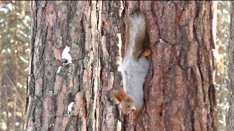 Squirrels are playing catch-up