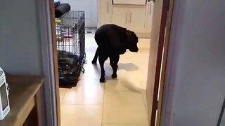 QUIRKY DOG ONLY WALKS BACKWARDS THROUGH DOORWAYS