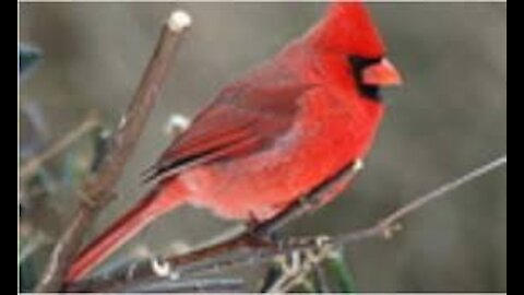 WHEN IS IT EVER ENOUGH! MALE CARDINAL FEEDING FEMALE ALL DAY LONG, IT MUST BE LOVE.