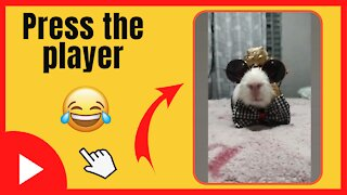 Guinea pig wearing cute clothes