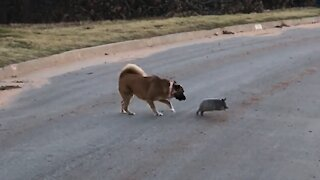Dog tries to Play with Armadillo! Hilarious!