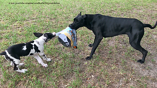 Great Danes Play With Halloween Costume After Opening Package