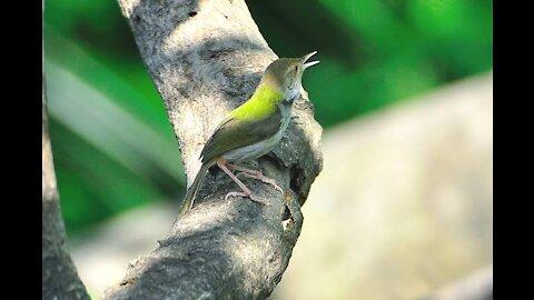 Tuntuni bird