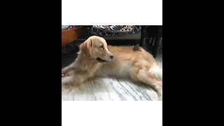 Golden Retriever unexpectedly becomes friends with baby bird