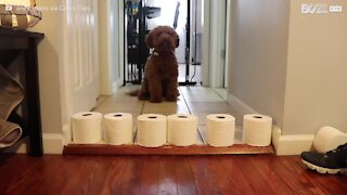 Cão mantém-se ocupado durante a quarentena