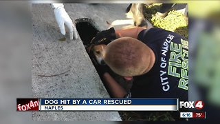 Dog hit rescued from culvert in Naples