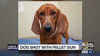 Dog recovering with foster family after being shot with pellet gun