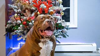 Merry Hulkmas: A Dog Dynasty Christmas Special I DOG DYNASTY