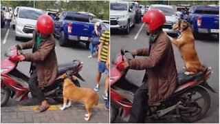 Safety first! Dog puts on helmet before getting a motorcycle ride