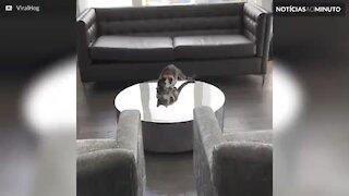 Gato fica confuso com reflexo na mesa