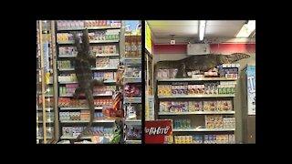 Giant Lizard Takes Over Market