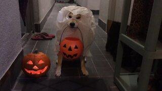 Shiba Inu Shows Off Spooky Halloween Costume