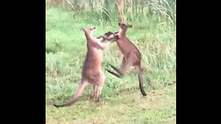 Kangaroo stand up Fight over my back fence (unedited raw)