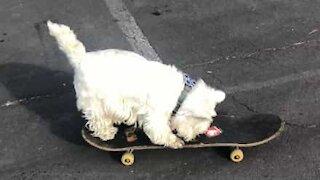 Skateboarding dog refuses to go home!