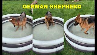 GERMAN SHEPHERD BATHING TWO