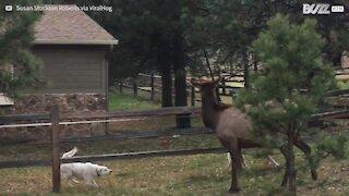 L'improbabile amicizia tra un'alce e dei cani!