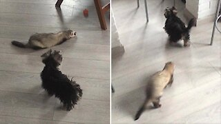 Yorkie convinces ferret to chase her around the house